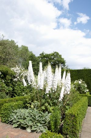 White delphiniums in a garden with cloudy sky