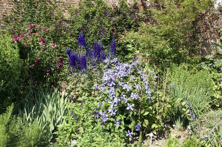 Clematis in a border of a garden photo