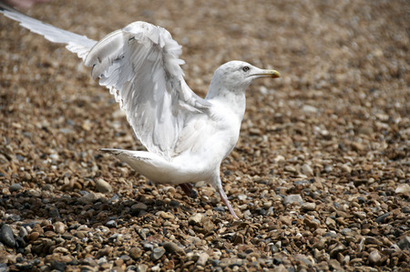 pebles: A sea gull standing on a pebble beach Stock Photo