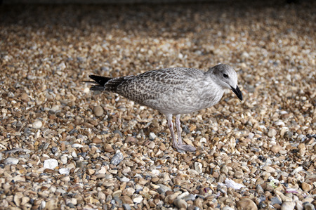 A sea gull standing on a pebble beach Stock Photo