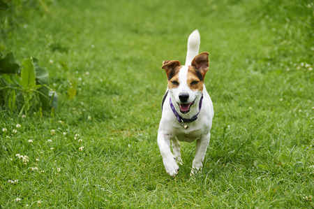 A Jack Russell in a field in the summer  photo