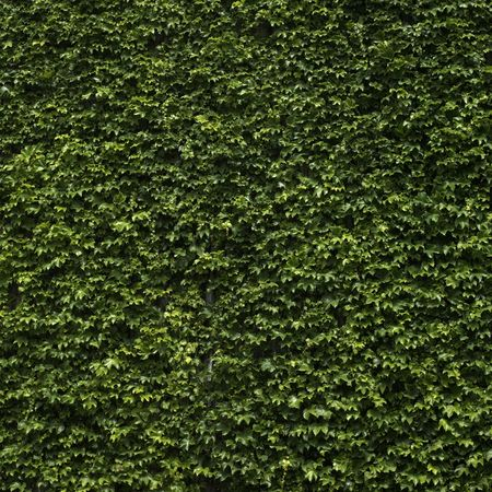 ivy wall: Green climbing ivy Stock Photo