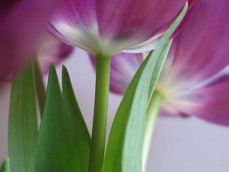 purple tulips close-up