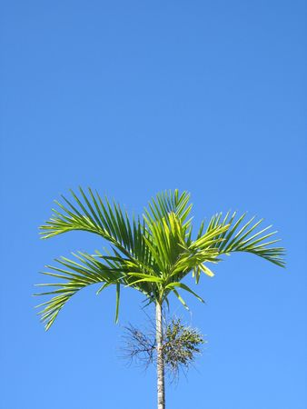 palm tree Stock Photo - 2833417