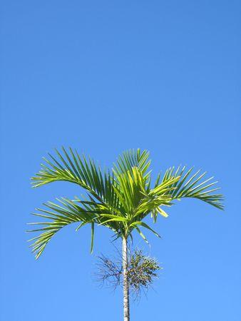 palm tree Stock Photo - 2833417