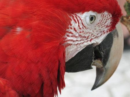 red parrot Stock Photo - 2948310