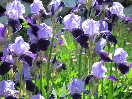 purple irises photo