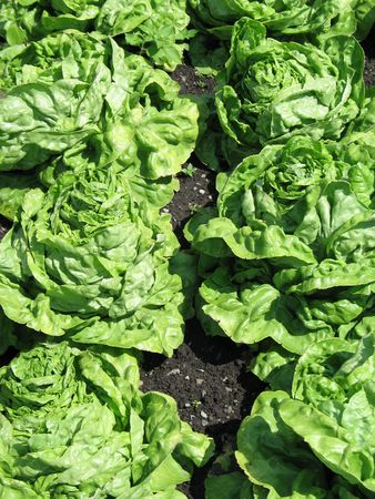 fresh green lettuce in a garden 版權商用圖片