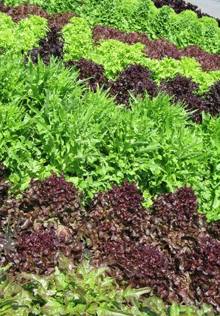 lettuces: different lettuces growing in a garden