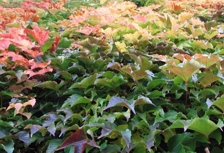 colorful leaves of a vine