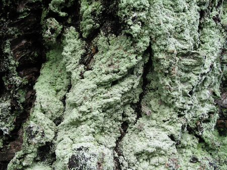 bark rain tree: green moss close up on a tree