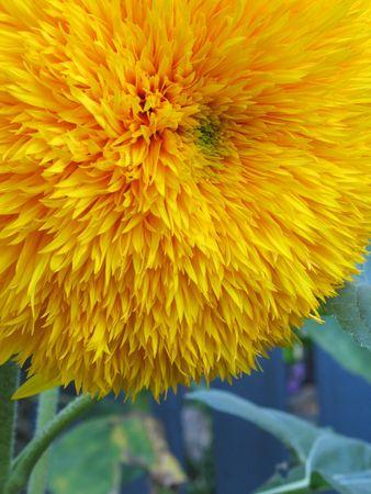 黄色の花のクローズ アップ
