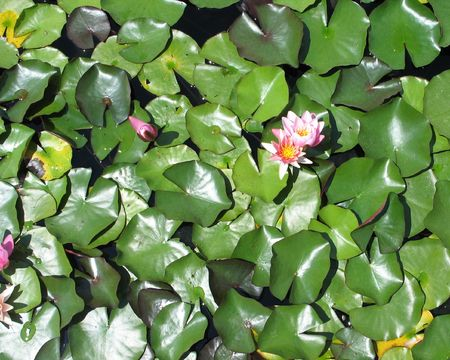 pink water lilies photo