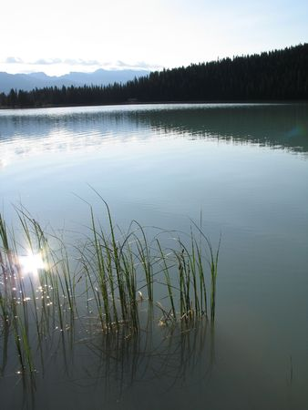 cattails: calm lake and forest