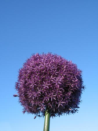 lila Bl�te Runde in den Himmel Stockfoto - 3998028
