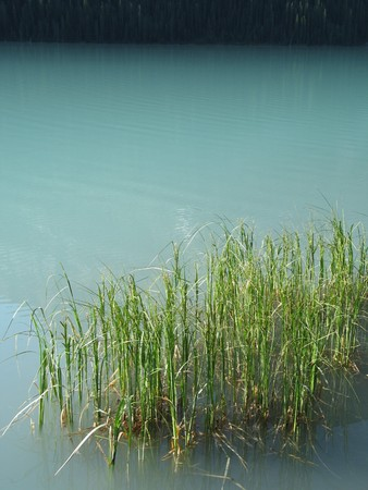calming: reeds in a green lake