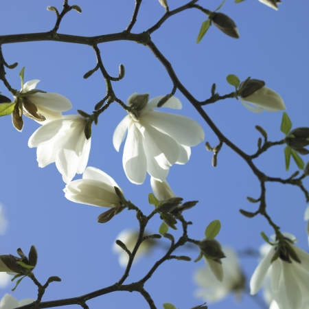 White flowers and blue sky photo