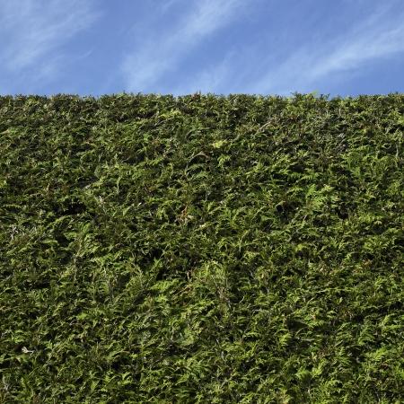 cedro: cedro cobertura