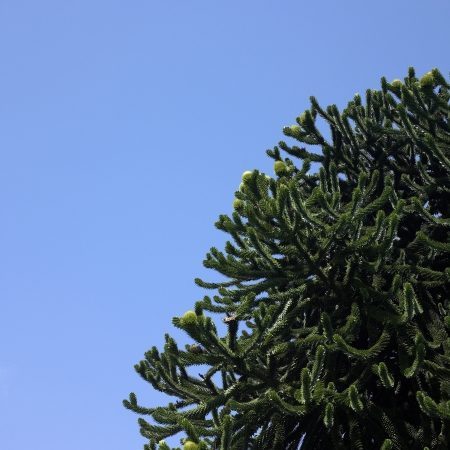 Monkey tree and blue sky photo