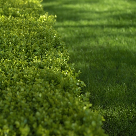 meticulous: green hedge and grass close up