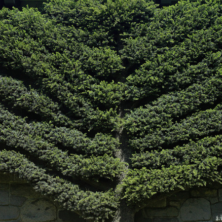 meticulous: Manicured tree climbing onto a wall Stock Photo