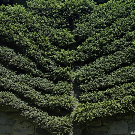 Manicured tree climbing onto a wall Фото со стока