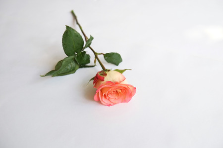 Single coral rose stem on white