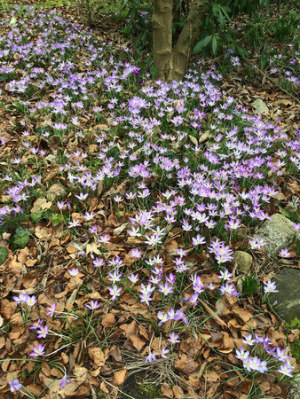 Tiny violet crocus flowers blooming in nature