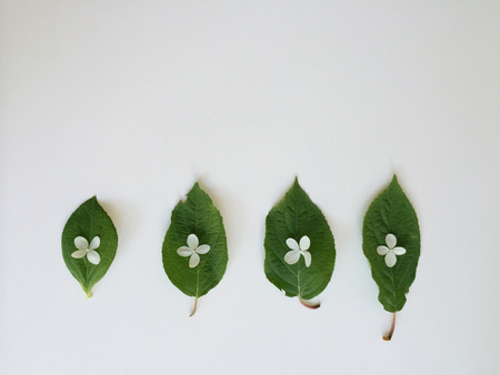 Four small green leaves layed out in a row with tiny white flowers placed on each one in a contrasting and fun manor