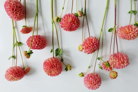 Row of coral dahlias on white