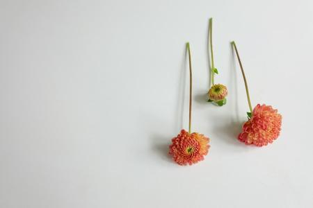 Three pink dahlias on white Stock Photo