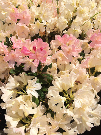 drenched: Sun drenched rhododendrons bush in full bloom Stock Photo