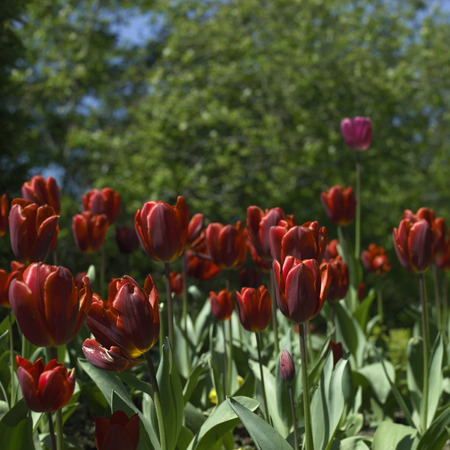 Bright red tulips with greenery in a natural garden