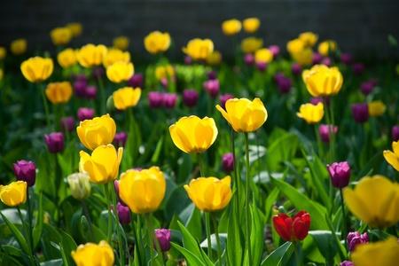 stalk flowers: Tulips field