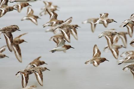flocking: Flocking Sandpipers Stock Photo