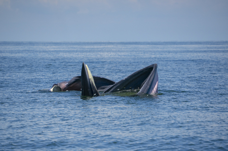 Huge Whale Bruda feed on a wide variety of fish in gulf of Thailand