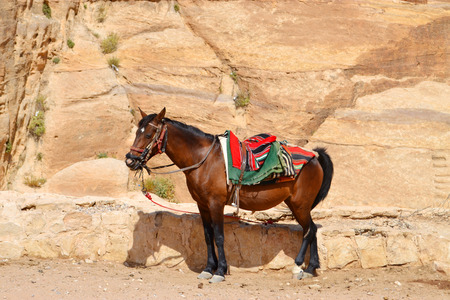 Arabian horse in the desert that is used for tourist transportation in Petra Stock Photo
