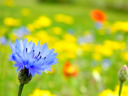 centaurea: Bachelor s Buttons Flower