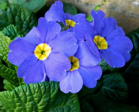 4 つの青い花