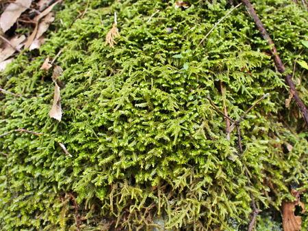 liverwort: Liverwort growing on the rock Stock Photo