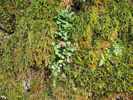 liverwort: Moss, lichen and liverwort growing on the rock Stock Photo