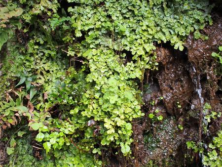 liverwort: Moss, lichen and liverwort growing on the rock in rain forest