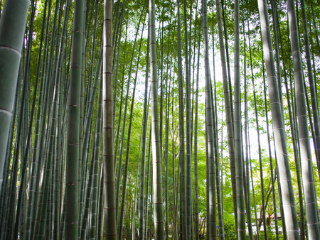 fengshui: Bamboo Forest in Japan. Bamboo Groove in Arashiyama, Kyoto Stock Photo