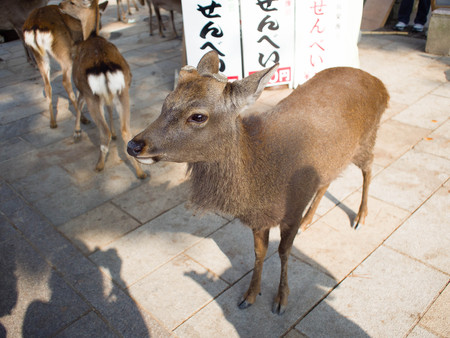 virginianus: Deer in Nara, Japan
