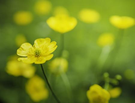 Gelbe Blume des gemeinsamen Hahnenfußes Standard-Bild