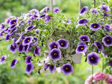 Purple Million bells, Calibrachoa, a popular outdoor container plant in hanging basket, closeup with selective focus