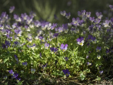 Large group of Wild pansies, Johnny Jump up,Viola tricolor, native European wild flowers blooming on a large rock in a forest, closeup with selective focus