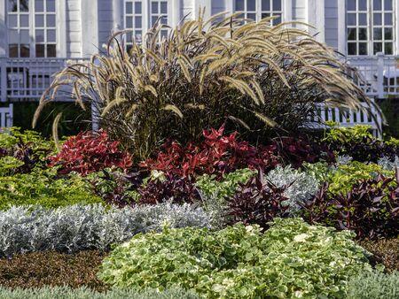 Autumn flowerbed with gorgeous Purple Fountain Grass, Pennisetum setaceum, Painted Nettle, Plectranthus scutellarioides and Dusty Miller, Senecio cineraria