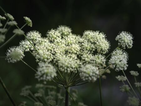 Angelica, Angelica sylvestris, perennial plant native to Europe and Central Asia, used as vegetable and for dyeing, blooming in a summer forest, closeup with focus Stock Photo