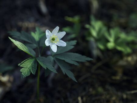 Forest anemone, Anemone nemorosa, growing in the moody forest in the spring, closeup with selective focus